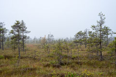 Bog landscape with trees in swamp Royalty Free Stock Photography