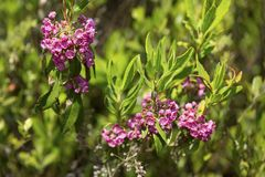 Bog laurel flowers in a bog on Mt. Sunapee. stock image