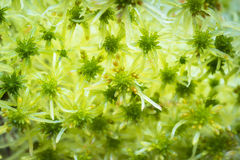 Bog Moss or Sphagnum fallax. At Abernethy Forest in Scotland Stock Image