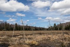 Bog coming to life on a spring day in Muskoka. A bog in Muskoka with dead trees in front of a background of evergreens under a beautiful mixed spring sky stock photo