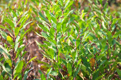 Bog-myrtle (Myrica gale). Colorful and crisp image of bog-myrtle (Myrica gale Stock Photo