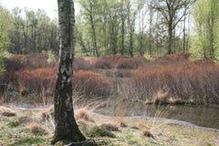 Bog myrtle stand Hamert. Bog myrtle stand in fen Stock Image