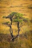 Bog pine in marsh Royalty Free Stock Photo