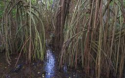The bog in the primeval forest with rees and plants Royalty Free Stock Images