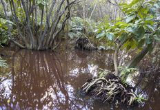 The bog in the primeval forest with trees and plants Stock Photography