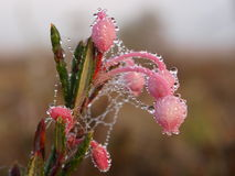 Bog-rosemary with dew drops Royalty Free Stock Image