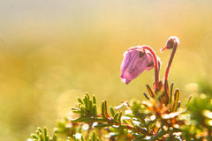 Bog rosemary. Flowers of the subarctic bog rosemary stock images