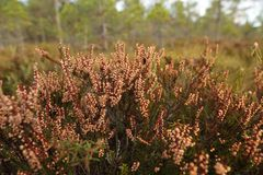 Bog's flora Royalty Free Stock Photography