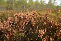 Bog's flora. Flora closeup at bogs in Estonia Royalty Free Stock Photography