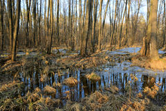 Bog in spring forest Royalty Free Stock Photography