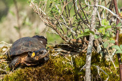 Bog Turtle Royalty Free Stock Image