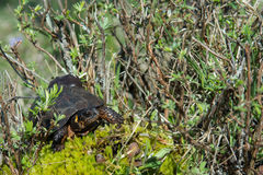 Bog Turtle Stock Photography