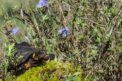 Bog Turtle Stock Photos