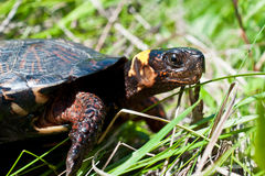 Bog Turtle. A close up of a Bog Turtle in its natural habitat Stock Photo