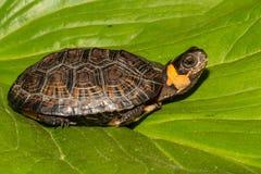 Bog Turtle. A critically endangered Bog Turtle  on a green leaf Stock Image