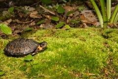 Bog Turtle. A critically endangered Bog Turtle in it`s natural habitat royalty free stock images