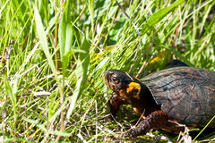 Bog Turtle. A Federally threatened Bog Turtle in its natural habitat Stock Photography