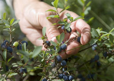 Bog whortleberry 2. Picking bog whortleberry in the forest 2 Royalty Free Stock Image