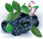 Bog Whortleberry Blueberries Stock Photo