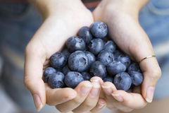 Bog whortleberry. Blueberries, woman`s hands holding bog whortleberry Stock Photos