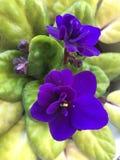 Bogaci purpurowi kwiaty Afrykański fiołek Zdjęcia Stock