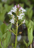 Bogbean Stock Photography