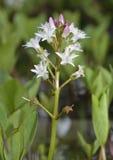 Bogbean. Menyanthes trifoliata Stock Photography