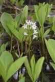 Bogbean. Menyanthes trifoliata Royalty Free Stock Photos
