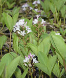 Bogbean Royalty Free Stock Images