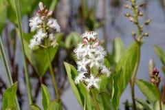 Bogbean (trifoliata di menyanthes) Fotografie Stock