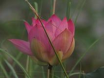 Bogen de brede bloemblaadjes van BZVlotus pink flower petals met een gericht uiteinde binnenwaarts aan de binnenkant royalty-vrije stock afbeelding