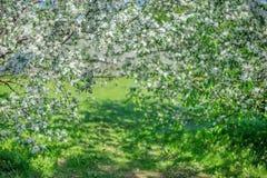 Bogen von blühenden weißen Apfelbäumen an einem sonnigen Tag stockfotos