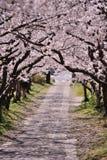 Bogen von Kirschblüte-Blüte Stockfoto