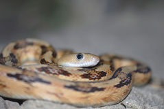 bogertophissubocularis Arkivfoto