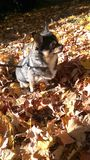 Bogie enjoying the leaves on a fall day Stock Photos