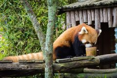Bogor, Indonesia - December 22, 2018 : Red Panda from Bogor Safari Park which is specially brought from China enjoying the food stock image