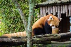 Bogor Indonesien - December 22, 2018: Röd panda från Bogor Safari Park som kommas med special från Kina som tycker om maten fotografering för bildbyråer