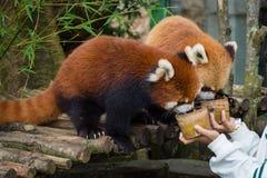 Bogor Indonesien - December 22, 2018: Två röda pandor från Bogor Safari Park, som kommas med special från Kina, tycker om arkivfoton