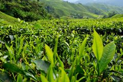 Tea Plantation, Cameron Highlands, Pahang Stock Photography