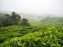 Boh Tea plantation in Cameron highlands Stock Photography