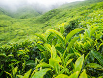 Boh Tea plantation in Cameron highlands Stock Photo