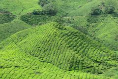 Boh Tea Plantation, Sungai Palas Stock Photo
