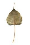 Bohd liście suszą Obrazy Stock