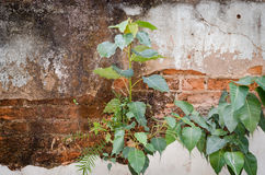 Bohd tree (Ficus religiosa) Growing from the wall Stock Image