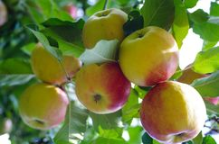 Bohemia Gold Apples royalty free stock photo