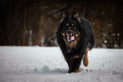 Bohemian Shepherd running in the snow. Bohemian Shepherd at snow time. Photo from my third Photoworkshop on Konopiste. It was amazing experience. I love dogs on royalty free stock photography
