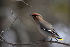 Bohemian Waxwing. This is a Bohemian Waxwing, taken in edmonton canada stock photography