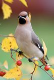 Bohemian Waxwing. On a Hawthorn Stock Image