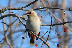 Bohemian Waxwing. A Bohemian Waxwing perched on a flowering crabapple tree in early spring in Littlefork, MN Stock Photos