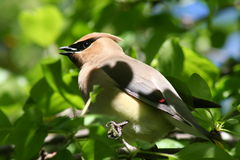 Bohemian Waxwing. A bohemian waxwing perched in a tree in Littlefork, MN Stock Photos